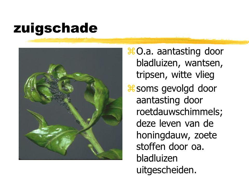 zuigschade O.a. aantasting door bladluizen, wantsen, tripsen, witte vlieg.
