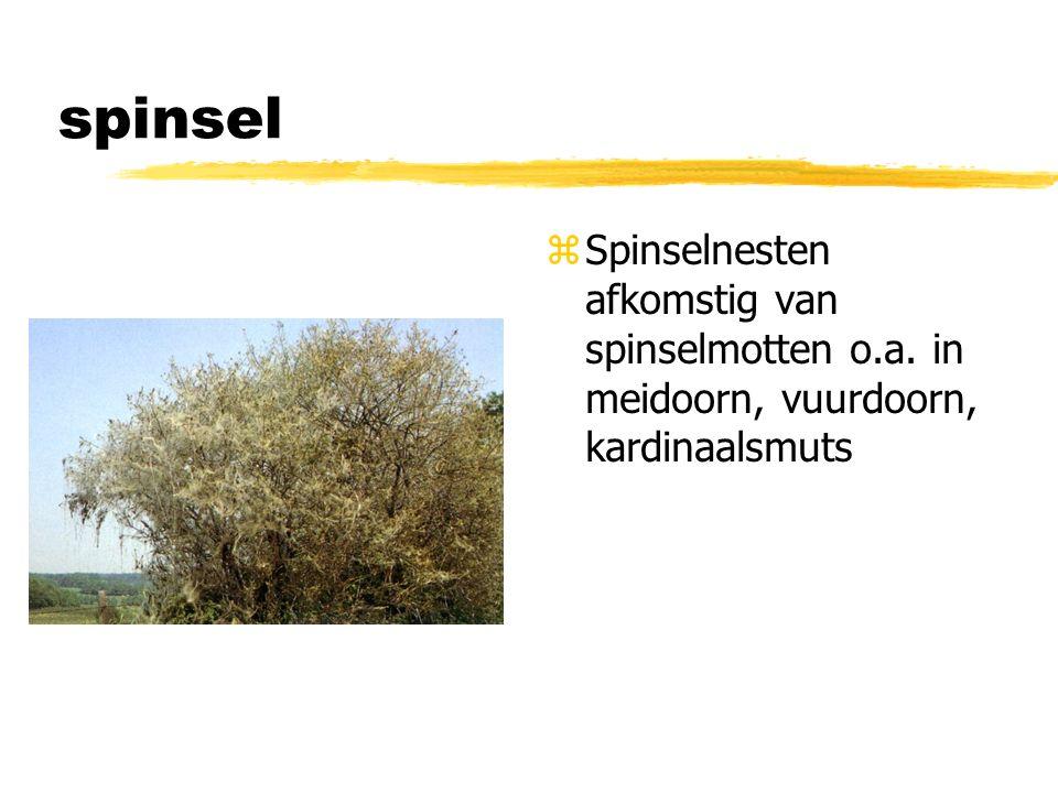 spinsel Spinselnesten afkomstig van spinselmotten o.a. in meidoorn, vuurdoorn, kardinaalsmuts