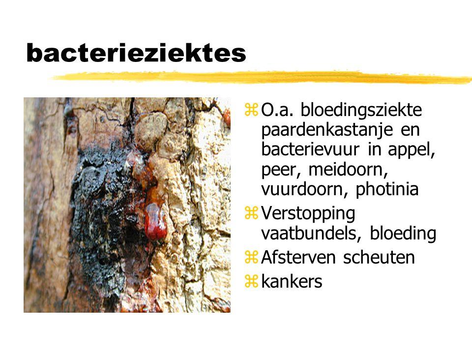 bacterieziektes O.a. bloedingsziekte paardenkastanje en bacterievuur in appel, peer, meidoorn, vuurdoorn, photinia.