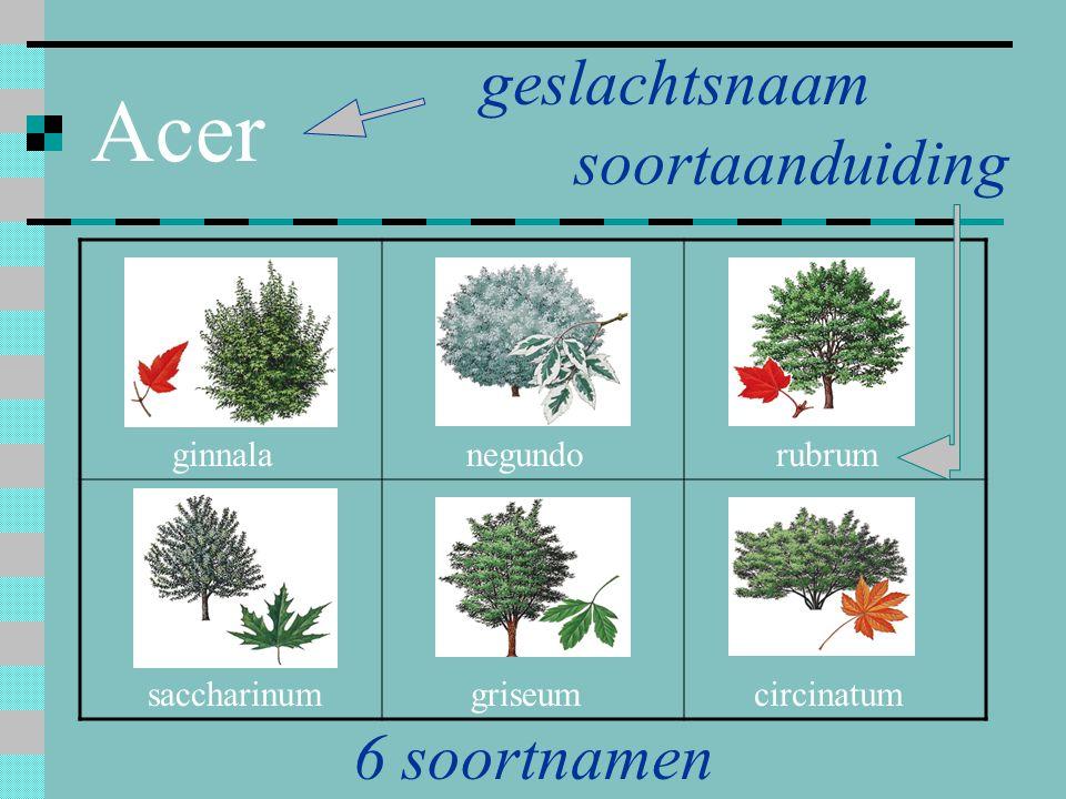 Acer geslachtsnaam soortaanduiding 6 soortnamen ginnala negundo rubrum
