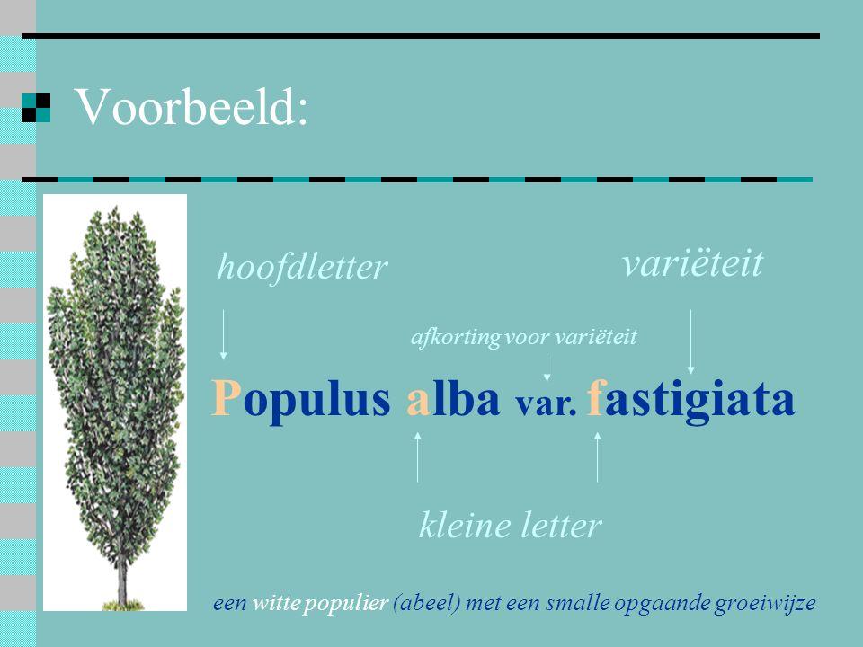 Populus alba var. fastigiata