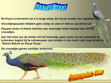 Pauwentroon Powerpoint: Tilly