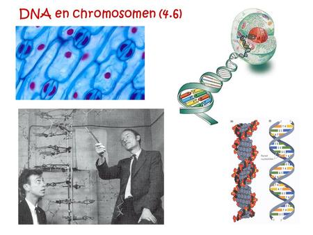 DNA en chromosomen (4.6).
