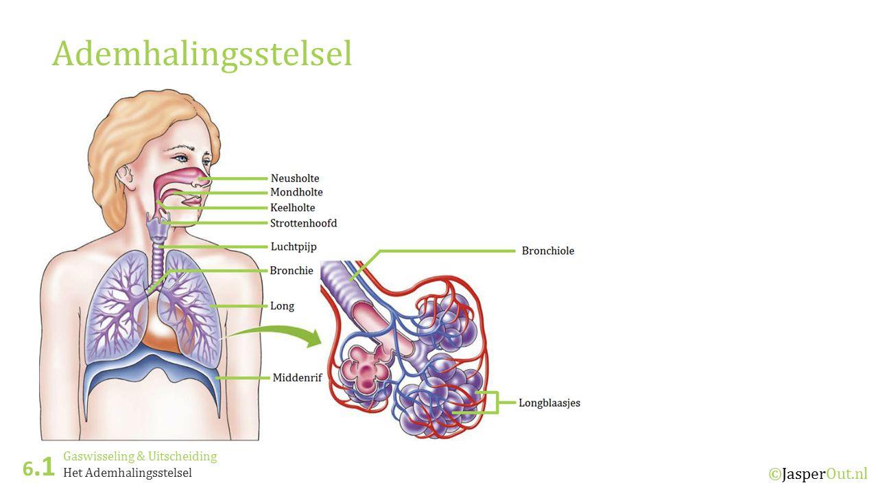 Gemütlich Bronchie Zeitgenössisch - Physiologie Von Menschlichen ...