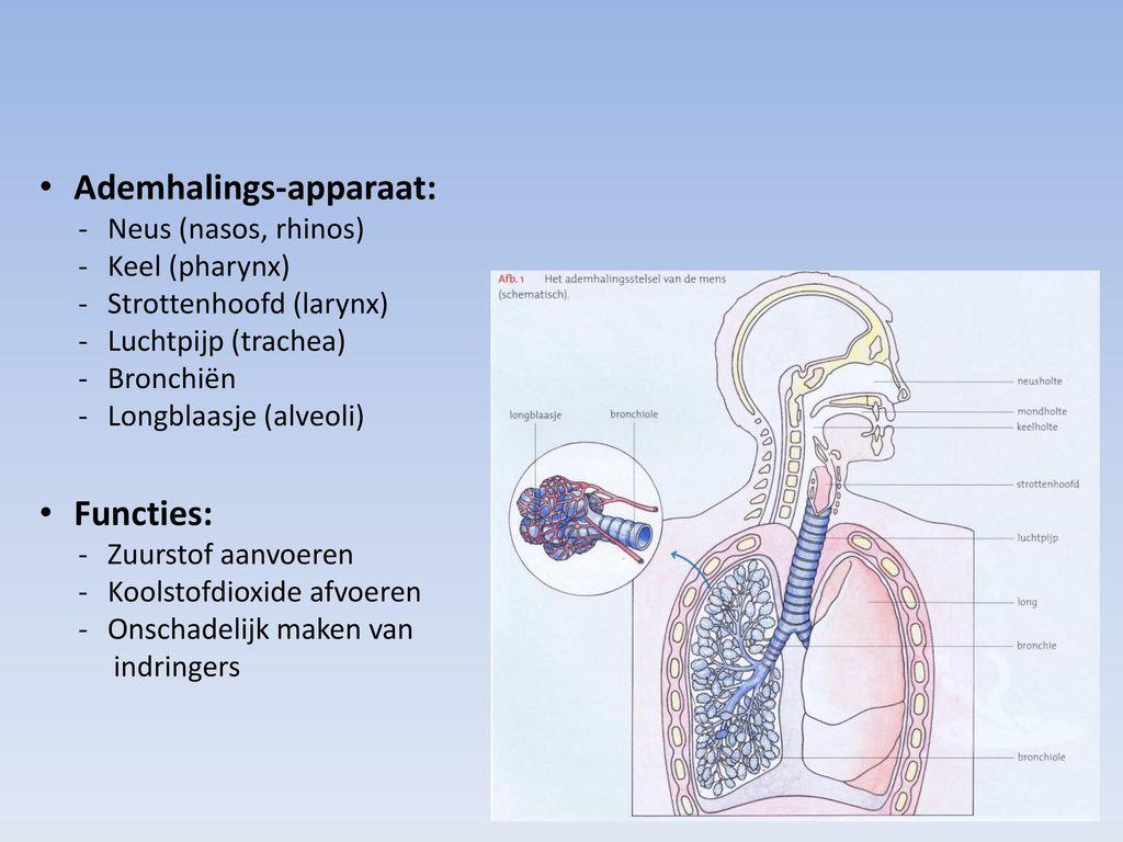 Hst. 3 Het ademhalingsapparaat - ppt video online download
