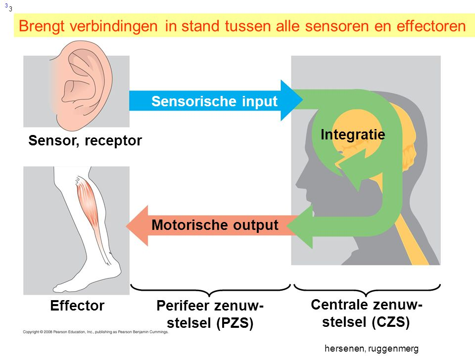 Zenuwstelsel Hersenen Ppt Video Online Download