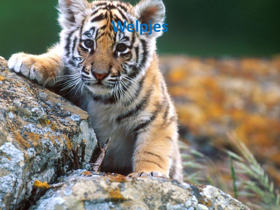 webkwestie bedreigde diersoorten indo chinese tijger