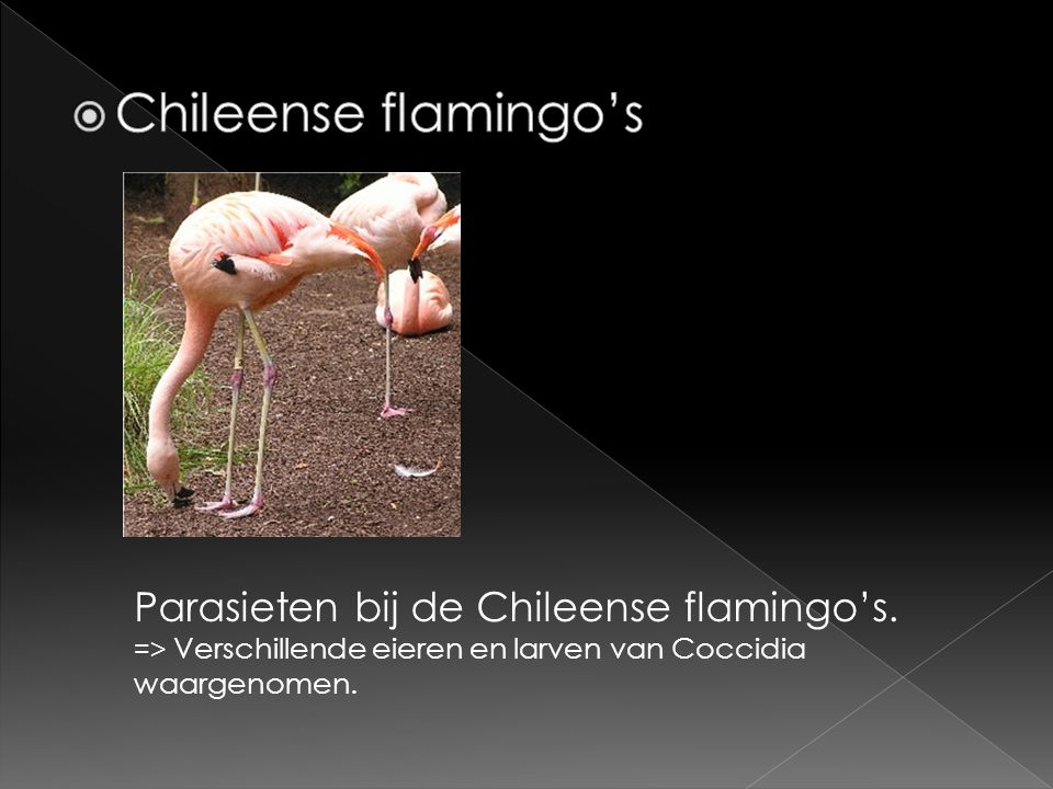 Chileense flamingo's Parasieten bij de Chileense flamingo's.