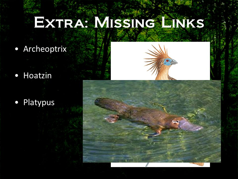 Extra: Missing Links Archeoptrix Hoatzin Platypus