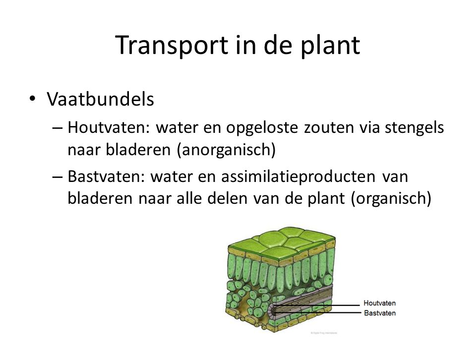 Transport in de plant Vaatbundels