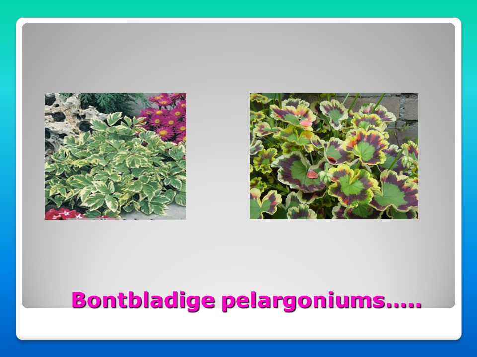 Bontbladige pelargoniums…..