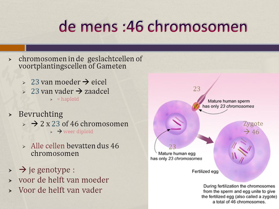 de mens :46 chromosomen Bevruchting  je genotype :