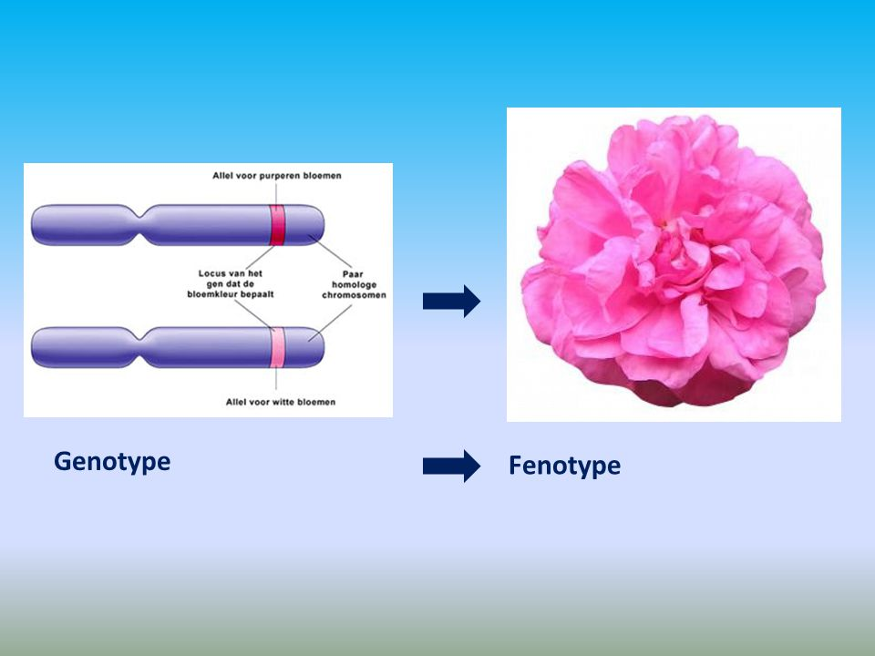 Genotype Fenotype