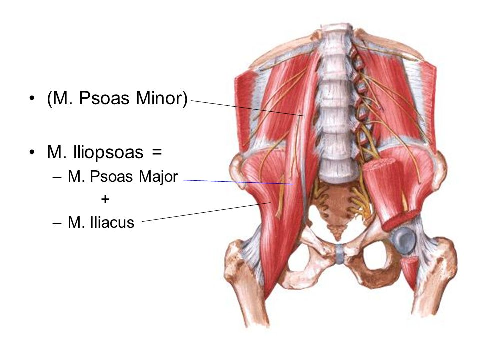 (M. Psoas Minor) M. Iliopsoas = M. Psoas Major + M. Iliacus