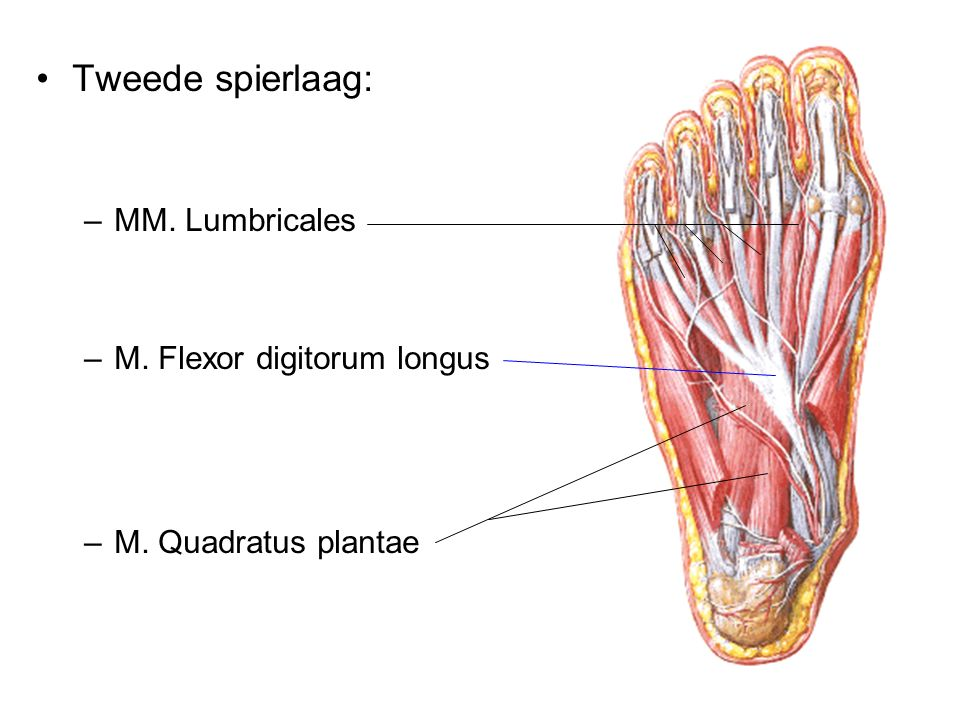 Tweede spierlaag: MM. Lumbricales M. Flexor digitorum longus